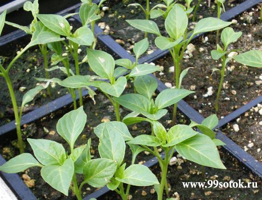 Выращивание рассады болгарского перца